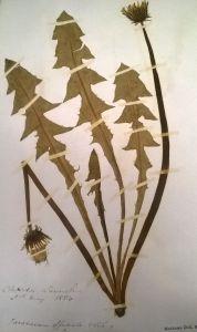 Dandelion specimen